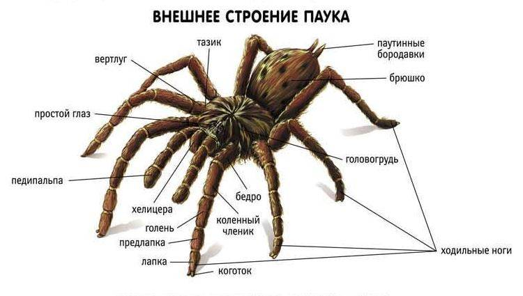 Анальное отверстие пауков